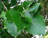 Pappelblatt