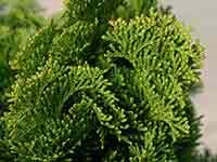 Zypressenblatt